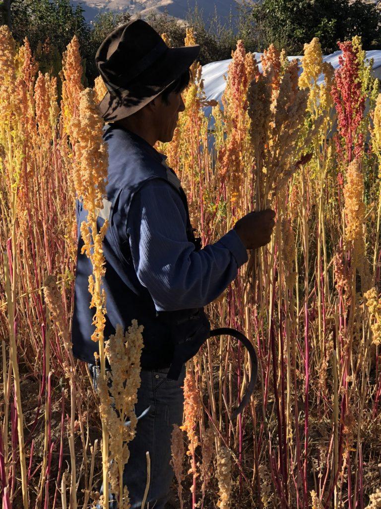 Indigenous farmer harvesting quinoa