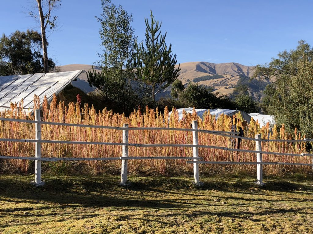 Quinoa field at The Lazy Dog Inn, Huaraz, Peru