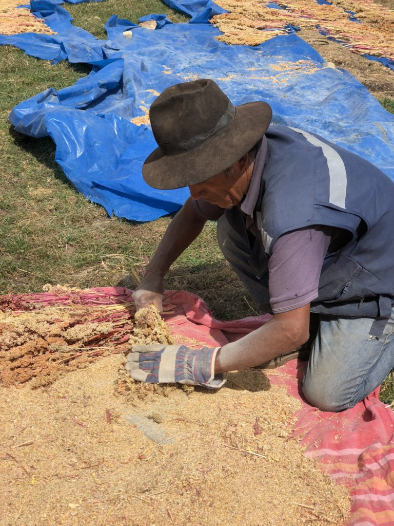 Indigenous farmer shucking the quinoa husk from the grain