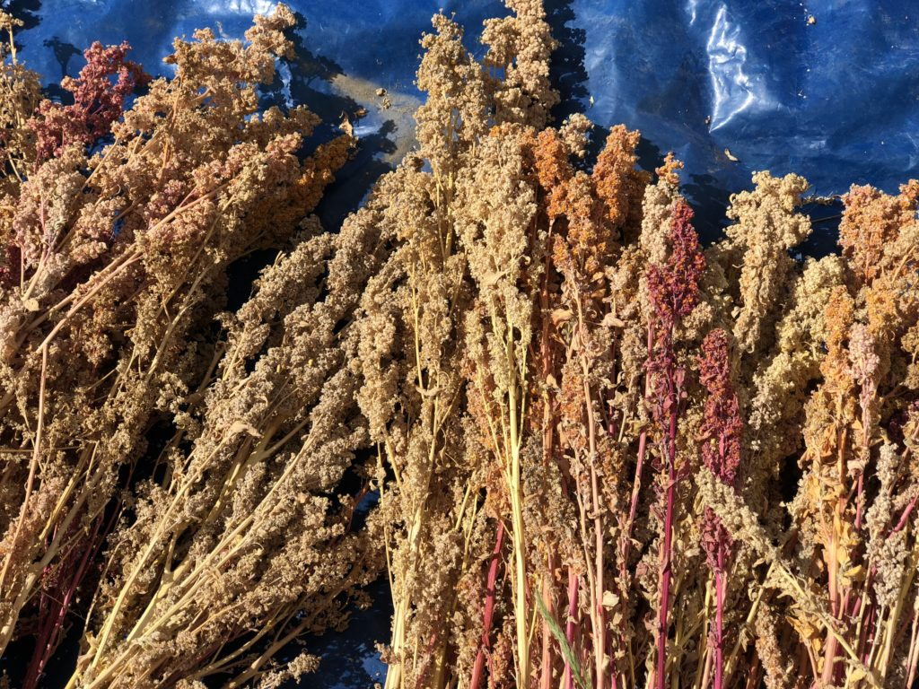 Dried and harvest quinoa from the Lazy Dog Inn, in Huaraz, Peru.