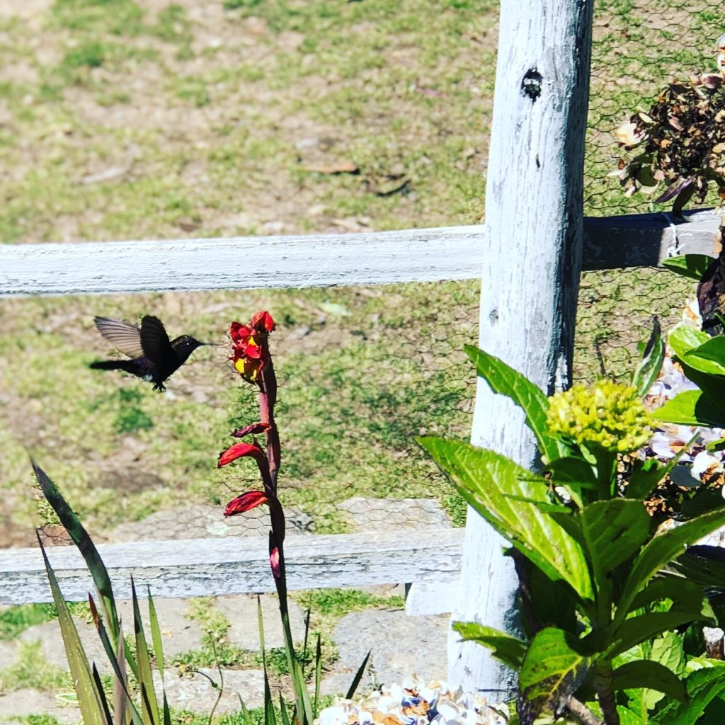 Black Metal Tail Hummingbird in the Cordillera Blanca at The Lazy Dog Inn Mountain Lodge