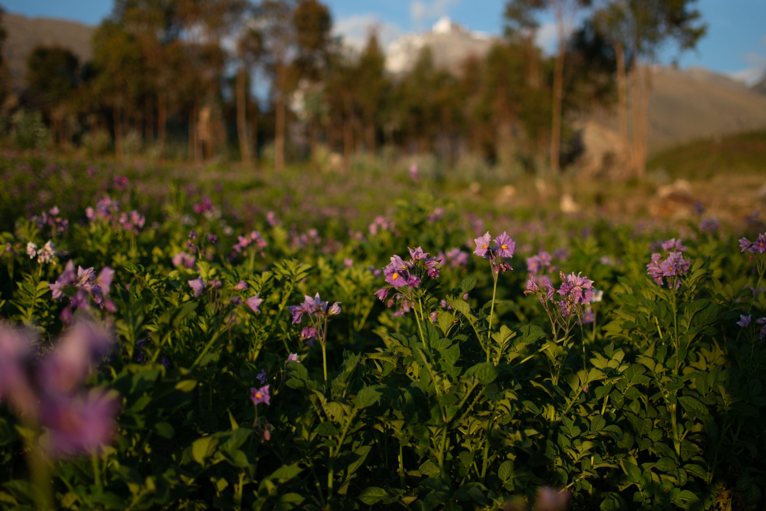 Flowering potato plants in the Peruvian Andes