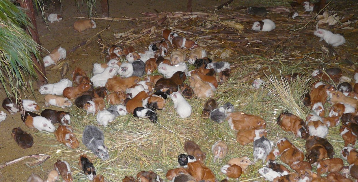 Guinea Pig Stable